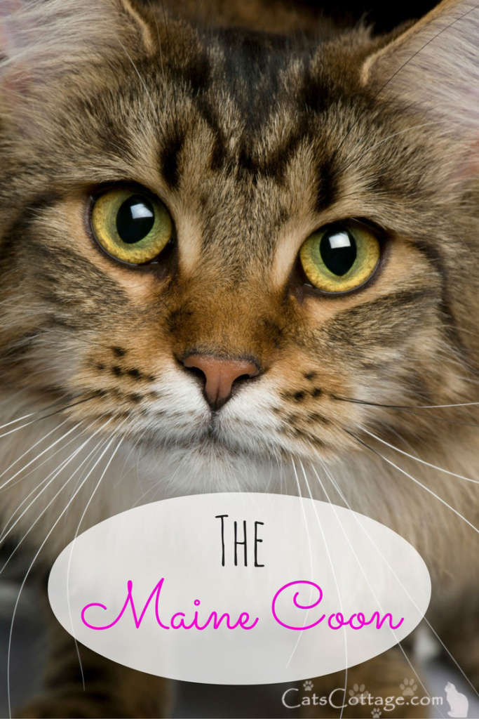The Maine Coon is the biggest cat breed in the world.