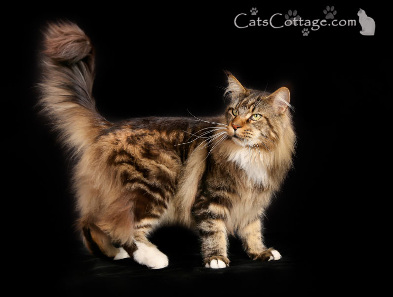 The Maine Coon Cat is very intelligent.