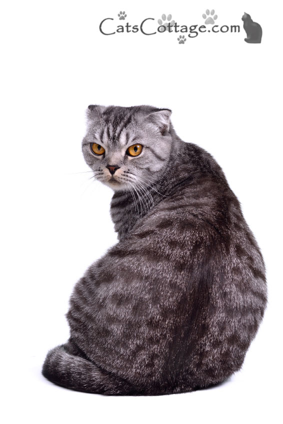 The Scottish Fold is a blend of American and British Shorthairs.
