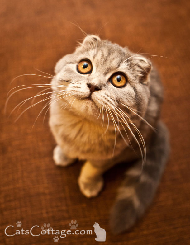 The Scottish Fold has a very easy-going nature. Look at that face!