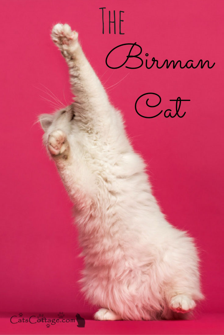 Birmans are playful and might even play a game of fetch.