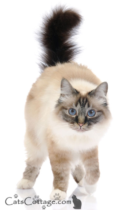 Birmans are calm and affectionate.