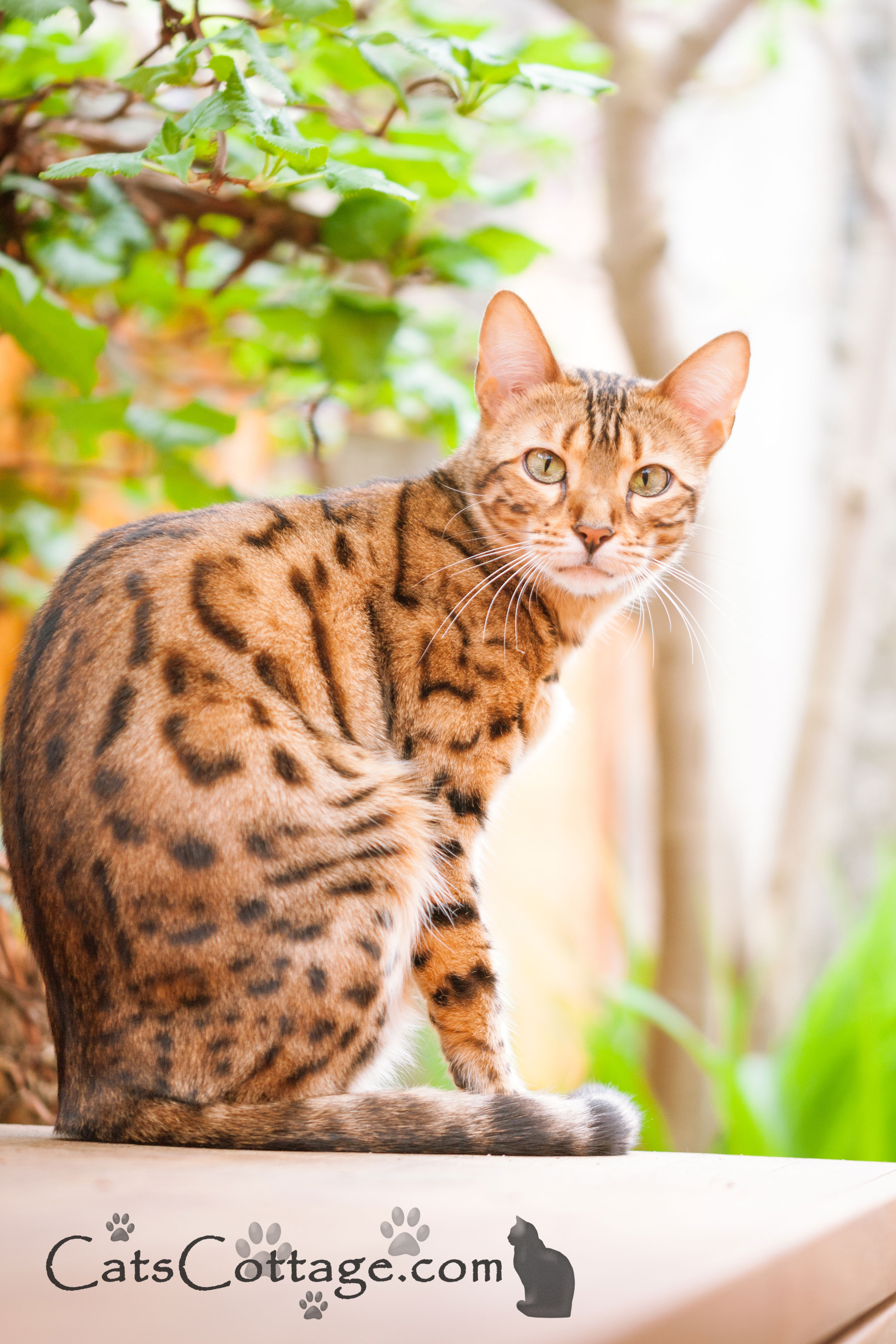 The Bengal cat rarely sits still.