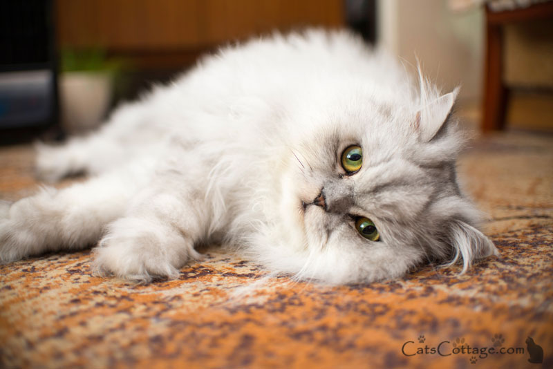 The Persian Cat