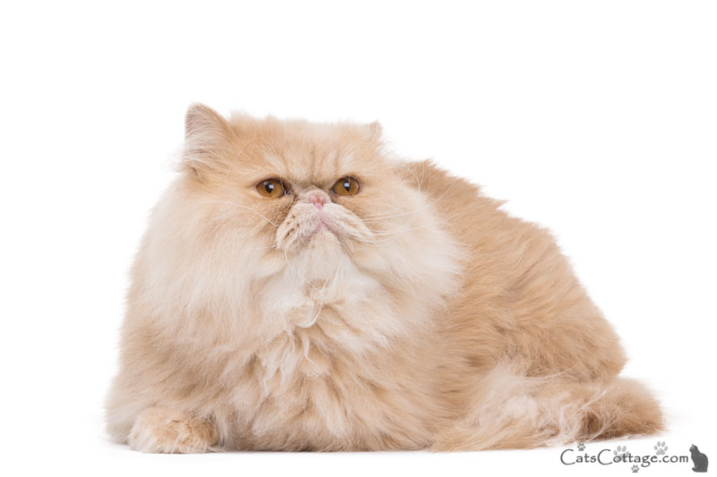 The Persian Cat is a very regal breed.