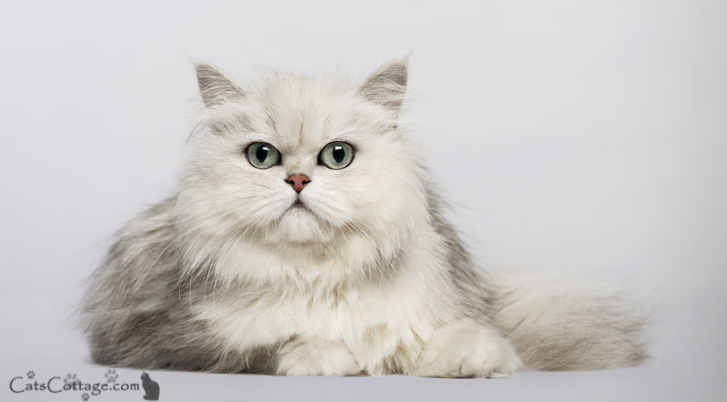 The Persian Cat is devoted to their human.